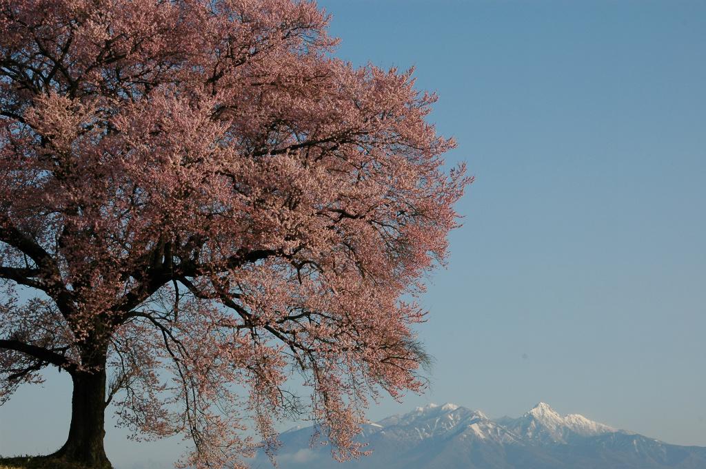 【わに塚の桜】2006年04月06日 06:47撮影